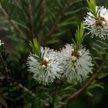 Huile essentielle et hydrolat de Tea-tree : Propiétés et utilisations