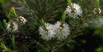 huile essentielle hydrolat tea tree