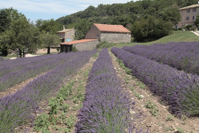 lavande-Provence